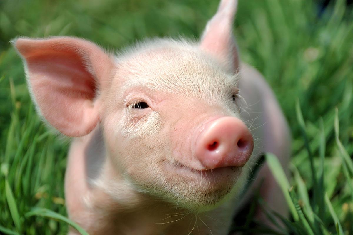 Из-за африканской чумы свиней водном израйонов Винницкой области введен карантин