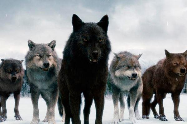 """Результат пошуку зображень за запитом """"стая вовків"""""""