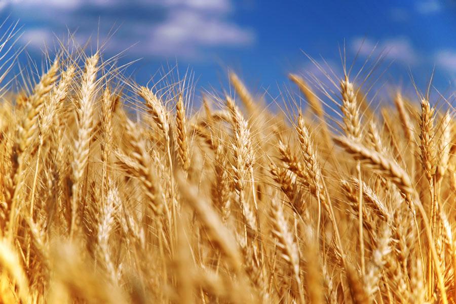 МинсельхозРФ: собрано 65 млн. тонн зерна