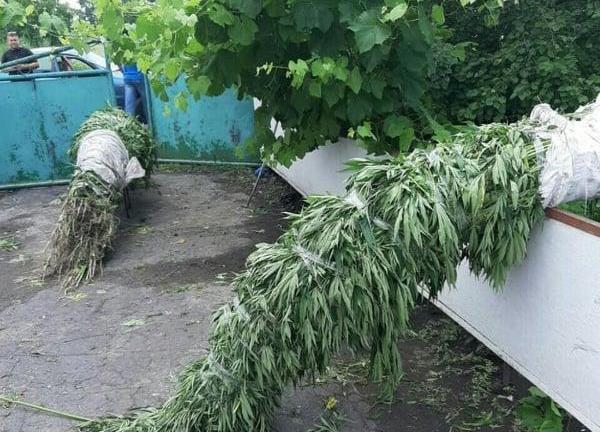 Конопле рекорд производство семян конопли