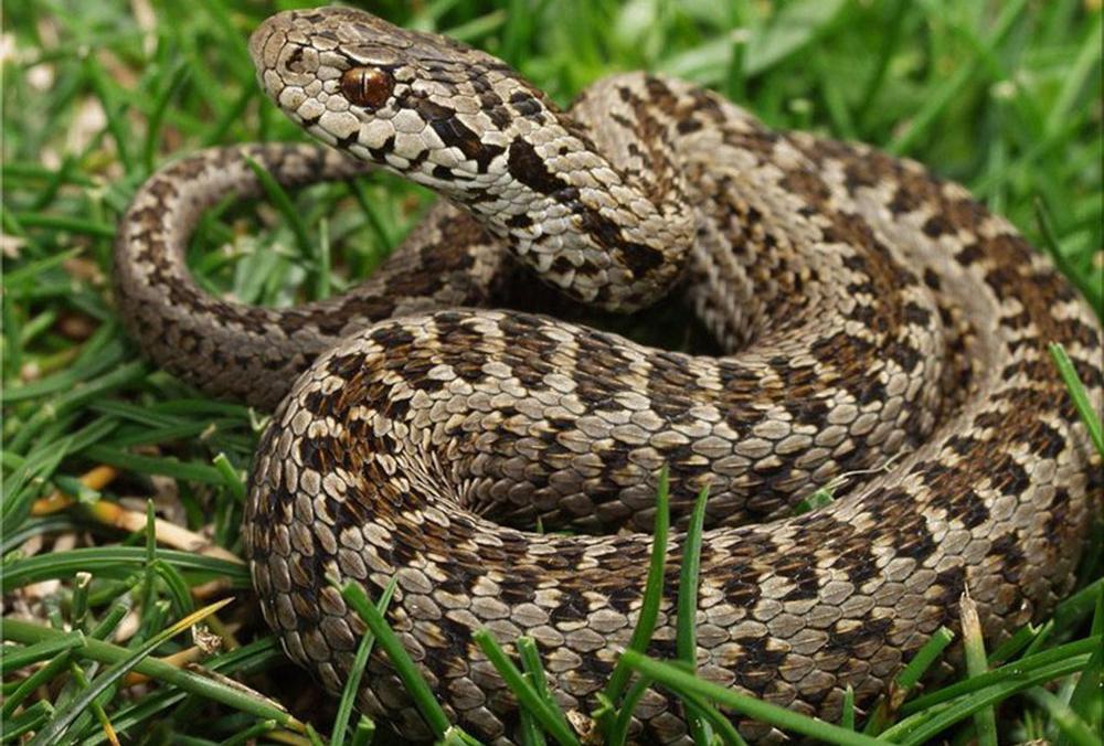 змеи волгоградской области в картинках